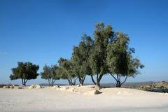 przeciw nieb błękitny oliwnym drzewom Fotografia Royalty Free