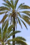 przeciw nieb błękitny palmowym drzewom Obrazy Stock