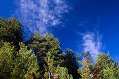 przeciw nieb błękitny sosnowym drzewom fotografia stock
