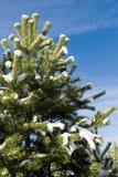 przeciw nieba błękitny futerkowemu drzewu Zdjęcie Stock