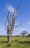 przeciw nieba błękitny nieżywemu drzewu Obrazy Royalty Free