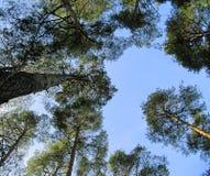 przeciw niebieskich nieb drzewom fotografia stock