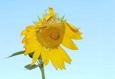 przeciw niebieskie niebo słonecznikowi Fotografia Royalty Free