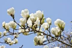 Przeciw niebieskiego nieba tłu magnoliowi kwiaty Fotografia Stock