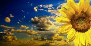 Przeciw niebieskiemu niebu piękny słonecznik Fotografia Royalty Free
