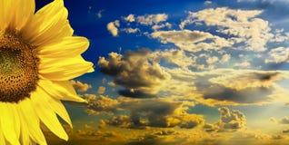 Przeciw niebieskiemu niebu piękny słonecznik Zdjęcia Royalty Free