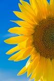 przeciw niebo słonecznikowi Fotografia Stock