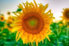 przeciw niebo słonecznikowi Zdjęcia Stock