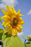 przeciw niebo słonecznikowi Obraz Royalty Free