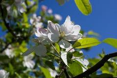 przeciw okwitnięcia jabłczanemu niebieskiemu niebu Zdjęcie Royalty Free
