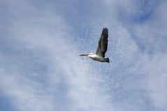 przeciw pelikana chmurnemu latającemu niebu Obraz Royalty Free