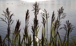 przeciw ranek wczesnemu traw jeziora ranek Zdjęcie Royalty Free