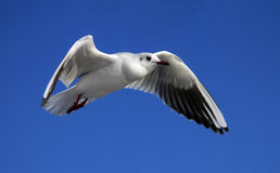 przeciw seagull błękitny niebu Zdjęcie Royalty Free