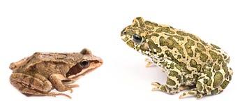 przeciw tła żaby odosobnionemu kumaka biel Fotografia Royalty Free