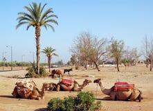 przeciw wielbłądów palmy trzy drzewom Fotografia Royalty Free