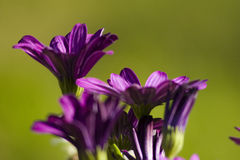 przeciwko tła zielonej purpurom kwiatów Zdjęcie Stock