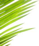 przeciwko zielonych liści palmowemu bielowi Zdjęcie Royalty Free