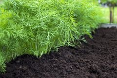 Przeciwutleniaczy kuchenni ziele na eco gospodarstwie rolnym uprawiają ogródek łóżko Selekcyjna miękka ostrość Fotografia koperko Obraz Royalty Free