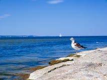 przedni przyglądający seagull Fotografia Stock