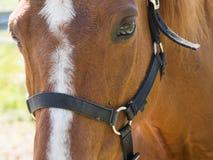 Przedpole brown koń obrazy stock