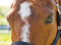 Przedpole brown koń obrazy royalty free