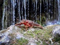 przedpole czerwień rakowa z tłem zamazującym wody kaskada zdjęcia stock