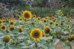 Przedpole jest słonecznikowym kwiatu tłem jest zielonym drzewem zdjęcia stock