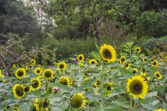 Przedpole jest słonecznikowym kwiatu tłem jest zielonym drzewem obrazy royalty free