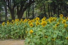 Przedpole jest słonecznikowym kwiatu tłem jest zielonym drzewem obraz stock