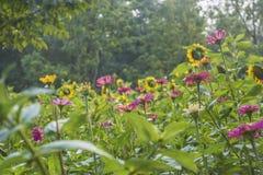 Przedpole jest słonecznikowym kwiatu tłem jest zielonym drzewem obraz royalty free