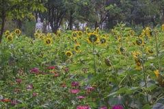 Przedpole jest słonecznikowym kwiatu tłem jest zielonym drzewem zdjęcie royalty free