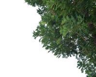 Przedpole luksusowi drzewa odizolowywający na białym tle zdjęcie royalty free