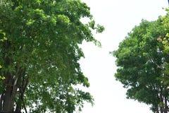 Przedpole luksusowi drzewa odizolowywający na białym tle obrazy royalty free