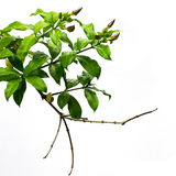 Przedpole od liści na bielu fotografia stock