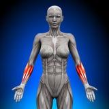 Przedramiona - Żeńscy anatomia mięśnie ilustracja wektor