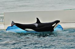 Przedstawienie orek lub zabójcy wieloryb zdjęcie stock