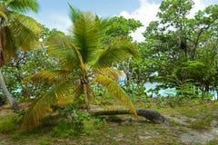 Przegięty drzewko palmowe w bagażnik zatoce, USA Dziewicze wyspy, usa zdjęcie royalty free