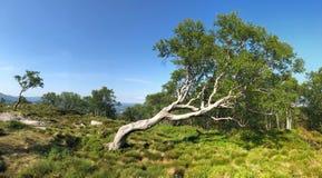 Przegięty drzewo obrazy stock