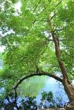 Przegięty drzewo nad stawem zdjęcie stock
