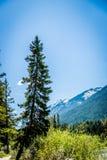 Przegięty drzewo w Banff parku narodowym zdjęcia royalty free