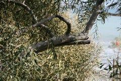 Przegięty eukaliptusowy drzewny bagażnik fotografia stock