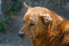 przegięty psiego ucho bezpański obraz stock