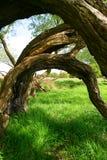 przegięci drzewa Fotografia Royalty Free
