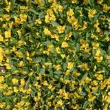 Przegląd łóżko z koloru żółtego St John wort, naukowy imię hypericum z zielonymi liśćmi i jaskrawymi kwiatami jako tło, i fotografia stock