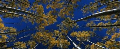 Przeglądać target17_0_ drzewo przy osikowymi jesień drzewami, CO obraz stock