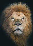 Przegląda lwa królewiątko Zdjęcia Royalty Free
