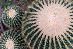Przegląda z góry na jeden ampule dwa małym złotym lufowym kaktusie i zdjęcie royalty free