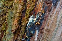 Przegniła barkentyna drzewny fiszorek z małą pluskwą Zdjęcie Royalty Free