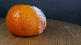 Przegniła i pleśniowa pomarańcze zbiory