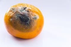 Przegniła mandarynka z foremką na białym tle Cytrus owoc psuje kosmos kopii Zakończenie zdjęcia royalty free